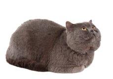 Odizolowywający szary kot obraz stock