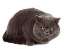 Odizolowywający szary kot fotografia royalty free