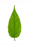 Odizolowywający zielony liść Obrazy Stock