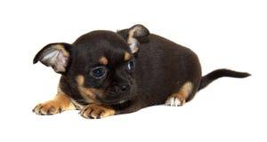 odizolowywający chihuahua pies Zdjęcie Royalty Free
