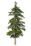 Odizolowywający jedlinowy drzewo obrazy royalty free