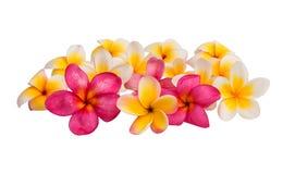 odizolowywający kwiatu frangipani Zdjęcia Royalty Free