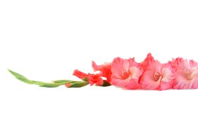 odizolowywający kwiatu gladiolus Obraz Stock