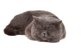 Odizolowywający szary kot fotografia stock