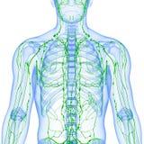 Odizolowywający z biel przejrzysty limfatyczny system Fotografia Stock