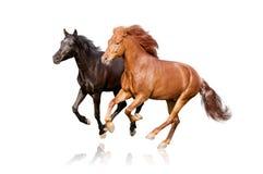 Odizolowywającego dwa konia Fotografia Royalty Free