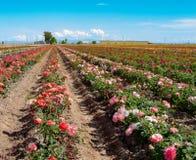 Odkrycie daleki kolorowy pole róże blisko Phoenix metra terenu zdjęcie stock