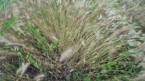Odla av gräshö stock video