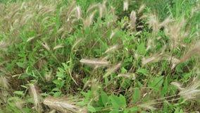 Odla av gräshö lager videofilmer