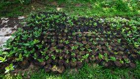 Odla kaffeplantor Royaltyfri Bild