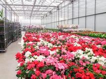 Odlat dekorativt växa för blommor i en kommersiell plactic folie täckte trädgårdsnäringväxthuset royaltyfri fotografi