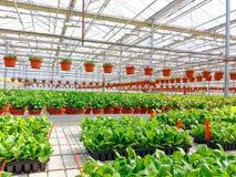 Odlat dekorativt växa för blommor i en kommersiell plactic folie täckte trädgårdsnäringväxthuset royaltyfria bilder
