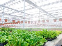 Odlat dekorativt växa för blommor i en kommersiell plactic folie täckte trädgårdsnäringväxthuset royaltyfria foton