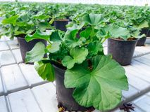 Odlat dekorativt växa för blommor i en kommersiell plactic folie täckte trädgårdsnäringväxthuset royaltyfri foto