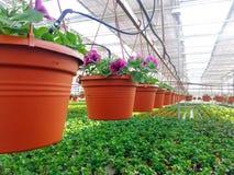 Odlat dekorativt växa för blommor i en kommersiell plactic folie täckte trädgårdsnäringväxthuset royaltyfri bild