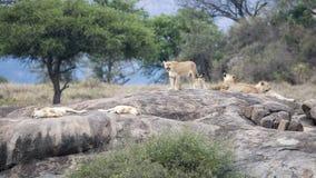 Odległe widok lwicy i lew z lisiątkami na ampule kołysają Obrazy Stock