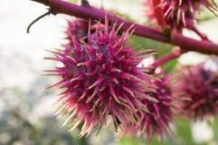 Odlewnik Bobowa roślina zdjęcie royalty free