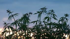 Odling av cannabis Gräsplanfilialer av en ung hampa huka sig ned i vinden mot en solnedgångbakgrund stock video