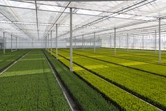 Odling av cupressusen i ett holländskt växthus arkivfoton