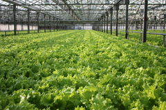 Odling av grön bladgrönsallat Arkivfoton