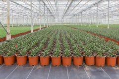 Odling av inomhus växter i ett holländskt växthus arkivbilder