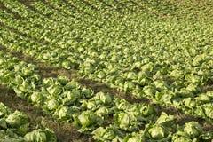 Odling av organisk grönsallat - sativa Lactuca royaltyfri fotografi