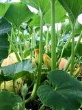 Odling av pumpa Gröna sidor av pumpa och gula blommor Botten beskådar royaltyfria foton