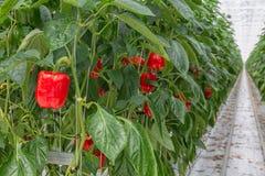 Odling av röd paprika i holländskt växthus arkivbild
