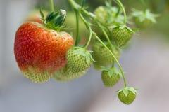 Odling av röda jordgubbar i holländskt växthus royaltyfri foto