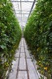Odling av tomater arkivbild