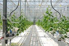 Odling av tomater och gurkor i växthus och växthus Bruka i Ryssland Växa för grönsak i den avlägsna norden fotografering för bildbyråer