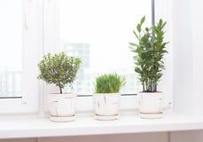 Odling av växter på fönsterbrädan Arkivbild