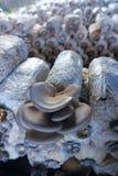 Odling f?r Pleurotusostreatuschampinjon fotografering för bildbyråer