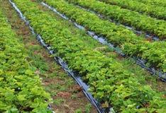 Odling i ett fält av röda jordgubbar Royaltyfria Foton