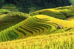 Odling i terrasserade Vietnam risfält förbereder skörden Royaltyfria Bilder