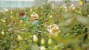 Odlingen och omsorgen av holländska rosor arkivfilmer
