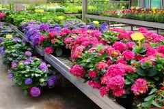 OdlingHortensia planterar växthuset, Nederländerna arkivfoto