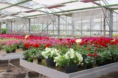 Odlingpetuniapelargon växthus, Nederländerna fotografering för bildbyråer