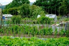 Odlingslottar i UK, grönsakträdgårdar Royaltyfria Bilder