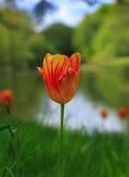 Odludna czerwień & kolor żółty obdzieraliśmy tulipanu przeciw naturalnemu tłu Zdjęcie Stock