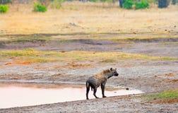 Odludna hieny pozycja na krawędzi małego waterhole w Hwange parku narodowym zdjęcia stock