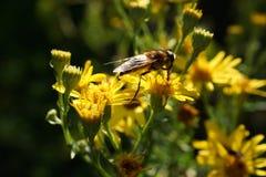 Odludna pszczoła na Żółtych kwiatach Fotografia Royalty Free
