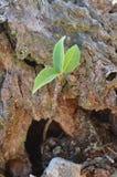 Odludna roślina odrodzona obraz royalty free