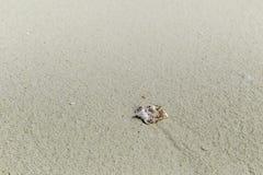 Odludna skorupa na plaży w Maldives Obrazy Royalty Free