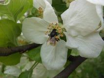 Odludne pszczoły Serbia obrazy stock