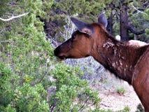 Odludnego młodego łosia tułaczy Południowy obręcz Grand Canyon zdjęcia royalty free