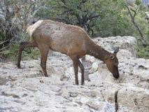 Odludnego młodego łosia tułaczy Południowy obręcz Grand Canyon zdjęcie royalty free