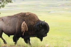 Odludni Bawoli Zwierzęcy spacery Wzdłuż Yellowstone parka przyrody Obrazy Stock