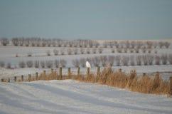 Odludny śnieżny sowy dopatrywanie od płotowej poczta w odległości Obrazy Stock