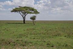 Odludny akacjowy drzewo fotografia stock